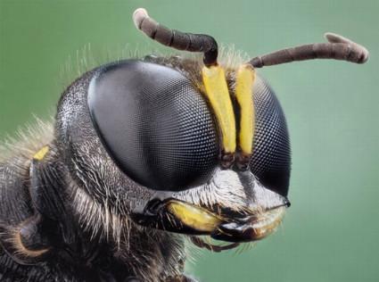 oczy muchy